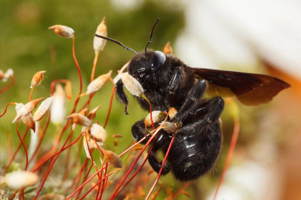 Do Carpenter Bees Sting
