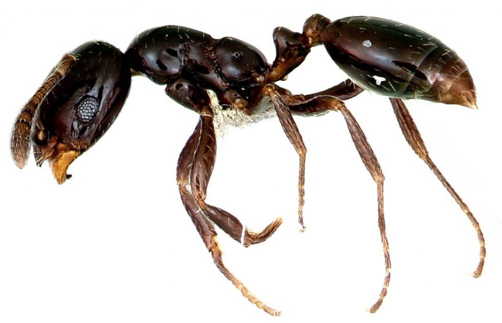 little black ant close up