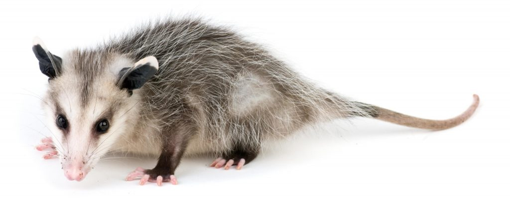 are opossums dangerous identification