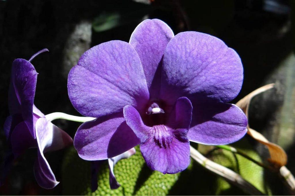 Purple Dandrobium Orchid