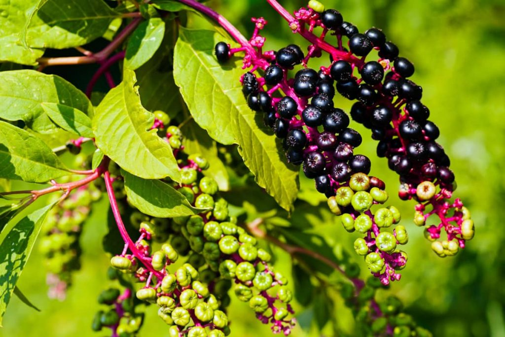 How to get rig of pokeweed