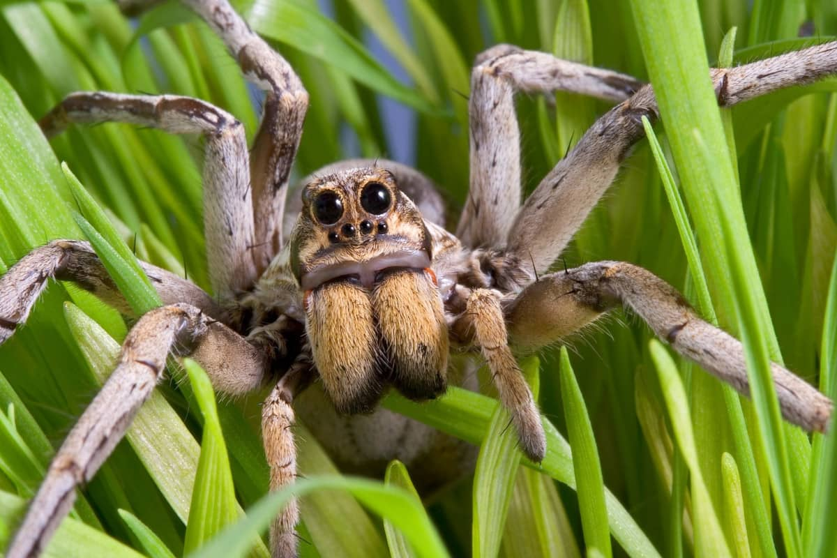 Wolf Spider Main - How To Get Rid Of Wolf Spiders In The Basement