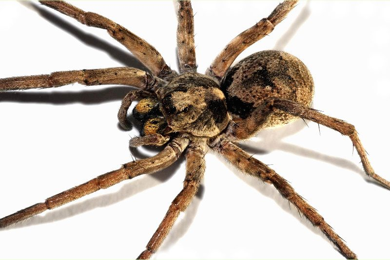 wolf spider identification