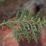 False cypress