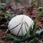 Spiny_Puffball_Mushroom_(15437938476)