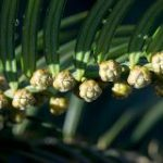 Cephalotaxus_harringtonia_Plum_Yew
