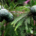 Bald_Cypress_Seedpods