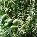 Torreya nutmeg yew