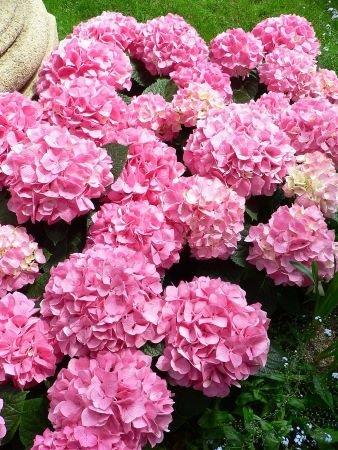hydrangea fertilizer