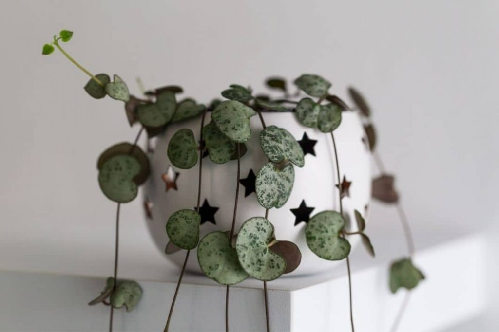 String Of Hearts Plant (Ceropegia Linearis Subsp. Woodii)