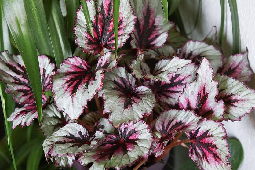 Begonia-Maori-Haze.