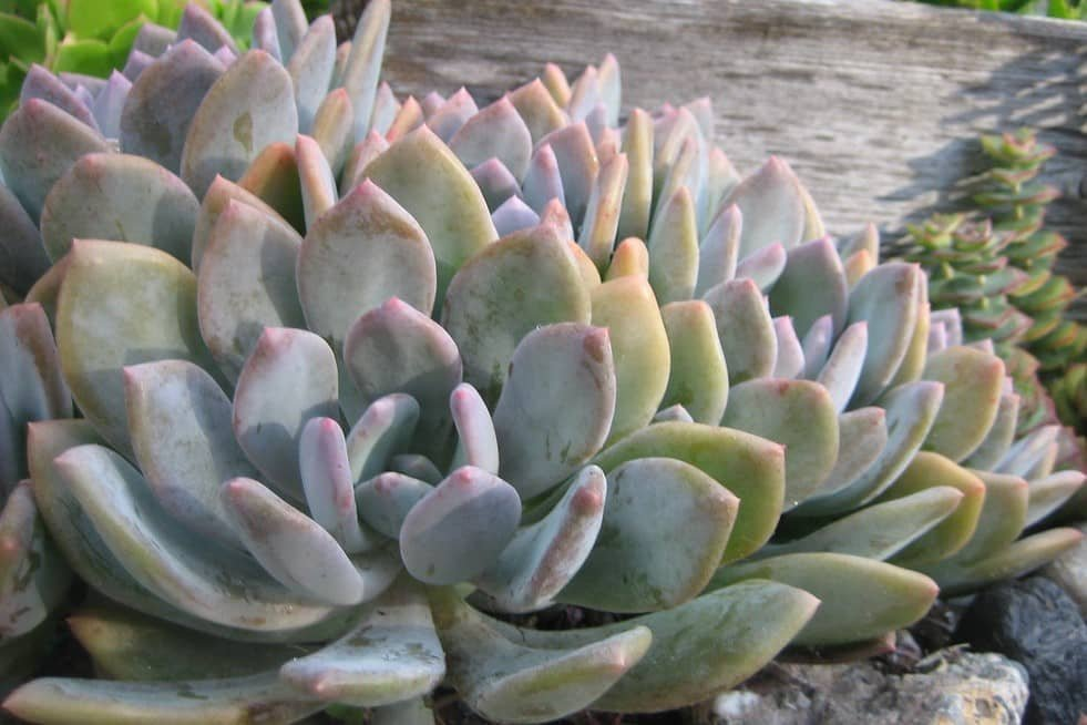 Graptoveria 'Debbie'