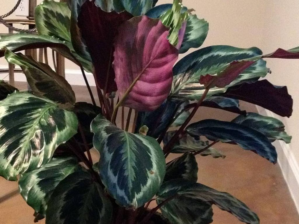 Prayer_plant_indoor