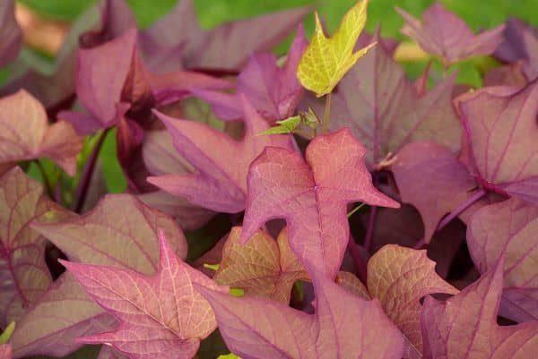 Sweet Caroline 'Purple' Potato Vine