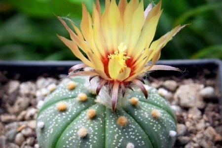 astrophytum asterias cactus care