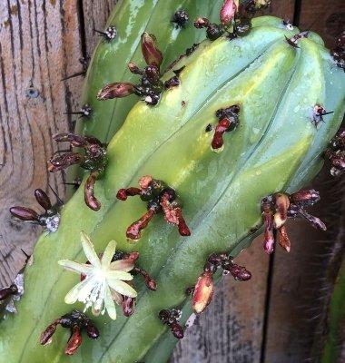blue myrtle cactus flower