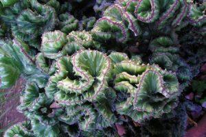 coral cactus plant care euphorbia lactea cristata