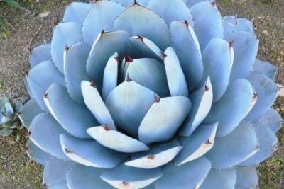 Agave parryi artichoke agave