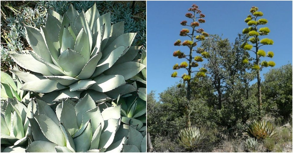 Parry's agave flowers