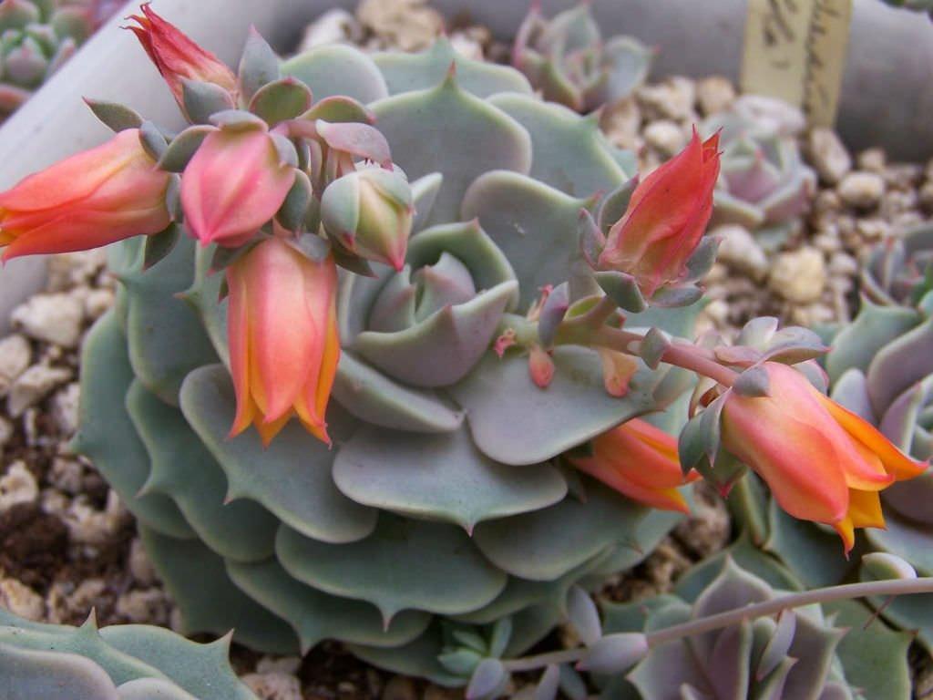 Lola succulent