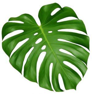 Monstera-Deliciosa-leaf