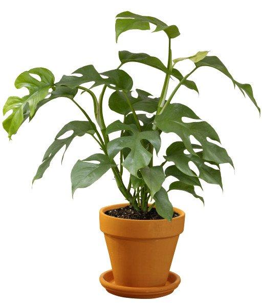 Rhaphidophora Tetrasperma Plant Care