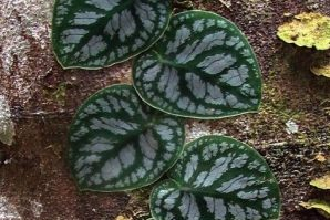 Monstera dubia Shingles Plant