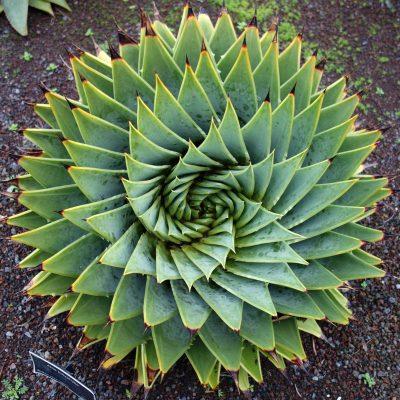 spiral aloe plant care