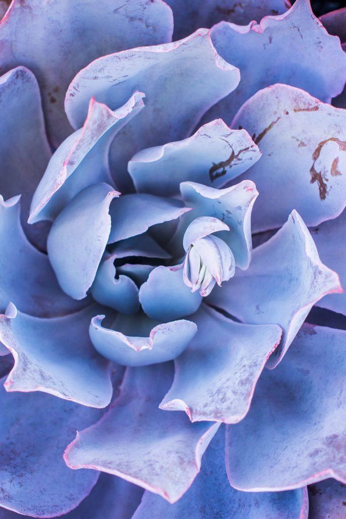 Afterglow Succulent