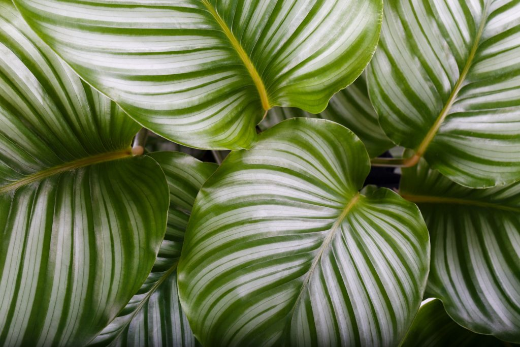 Round Leaf Orbifolia