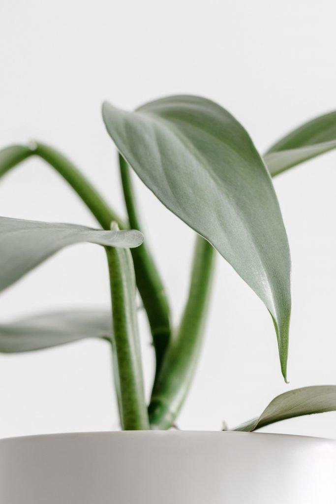 Philodendron-Hastatum