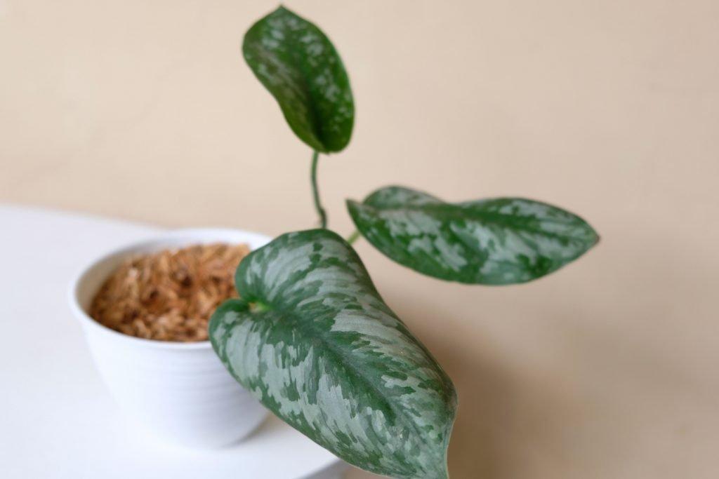 Scindapsus Pictus propagated