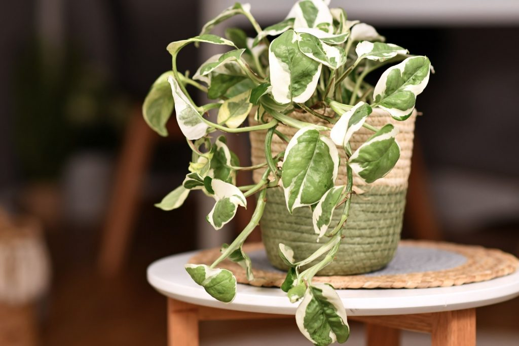 What-Does-An-Overwatered-Pothos-Look-Like