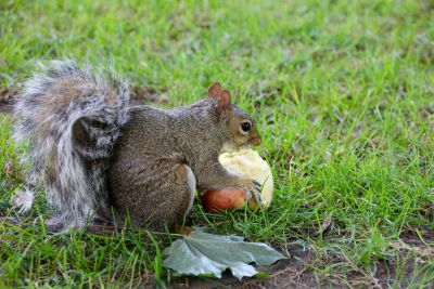 Do Squirrels Like To Eat Apples And Other Fruit Trees