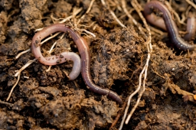Does Fertilizer Kill Worms