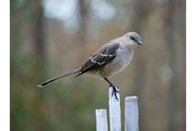 What Do Mockingbirds Eat